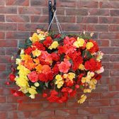 Begonia Illuminations Mixed (Pre-planted Basket)