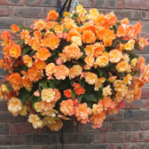 Begonia Apricot Shades (Pre-planted Basket)
