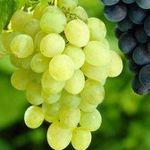 Vitis Himrod (Seedless Grape)