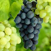 Vitis Glenora (Seedless Grape)