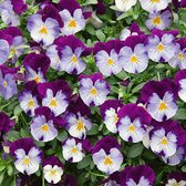 Trailing Pansy Cool Wave Violet Wing