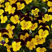 Trailing Pansy Cool Wave Red Wing