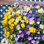 Trailing Pansy Cool Wave (Pre-Planted Basket)
