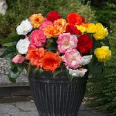 Begonia Majestic Mixed