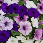 Petunia Frenzy Grand Rapids Mix