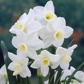 Narcissi Silver Chimes