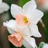 Narcissi Bellsong