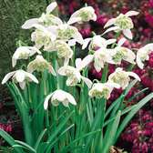 Snowdrops (Double Flowering)
