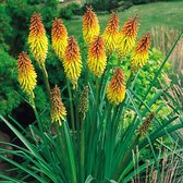 Kniphofia (Red Hot Poker)