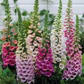 Digitalis Hardy Mixed (5cm Modules)