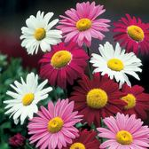 Pyrethrum Mixed