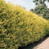 Privet Hedging (golden)