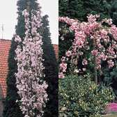 Prunus - Flowering Cherry Collection