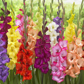Gladioli Giant Border Gladioli Mixed 10/12cm