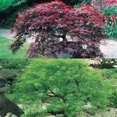 Acer Dissectum Collection