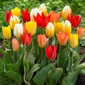 Tulip Fosteriana Mixed