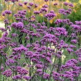Verbena Bonariensis (5cm Modules)