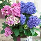 Hydrangea Together Collection