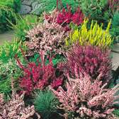 Heather Summer Flowering Collection (Calluna)