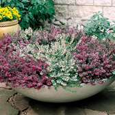 Heather Winter Flowering Collection (Erica)