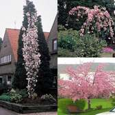 Prunus Flowering Cherry Collection