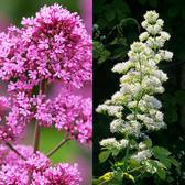 Centranthus - Collection