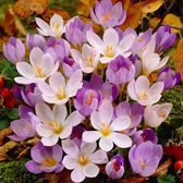 Crocus Autumn Flowering Mixed 5cm+