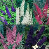 Buddleia Collection
