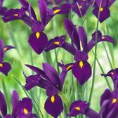Iris Purple Sensation (dutch Iris)