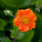 Geum Queen of Orange