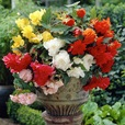 Begonia Cascading Mixed 3/4cm Tubers
