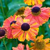 Helenium Sahin's Early