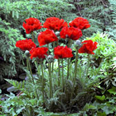 Giant Papaver King Kong