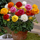 Patio Tomer Ranunculus Mix