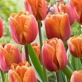 Tulip Brown Sugar