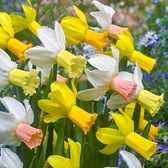 Narcissi Cyclamineus Mixed