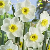 Narcissi Jamestown