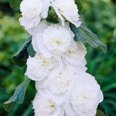 Alcea Bridal Bouquet