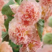 Alcea Peaches and Dreams