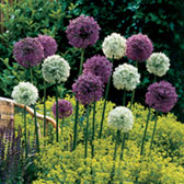 Allium Giant Collection (Mars/Mount Everest)
