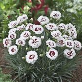 Dianthus Scent First Coconut Sundae