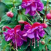 Fuchsia Dark Eyes (Trailing)