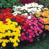 Garden Mums Hardy Collection