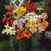 Lilies Asiatic Mixed