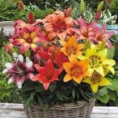 Lily Short Stemmed Mixed