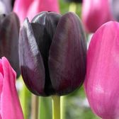 Tulip Black Knight