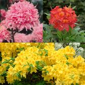 Azalea Knap Hill Collection