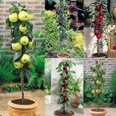 Dwarf Patio Fruit Tree Collection