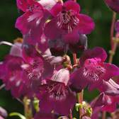 Penstemon Ice Cream Blackberry