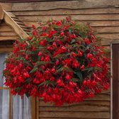 Begonia Firewings Red